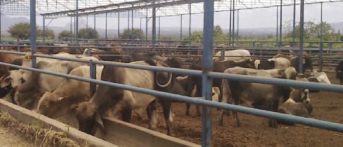 Techo Tipo Invernadero para Bovinos de Carne Confinados en el ...