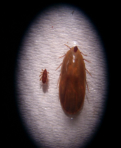 FIG. 8. Garrapatas Boophilus